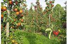 Untere Elbe Altes Land Äpfel